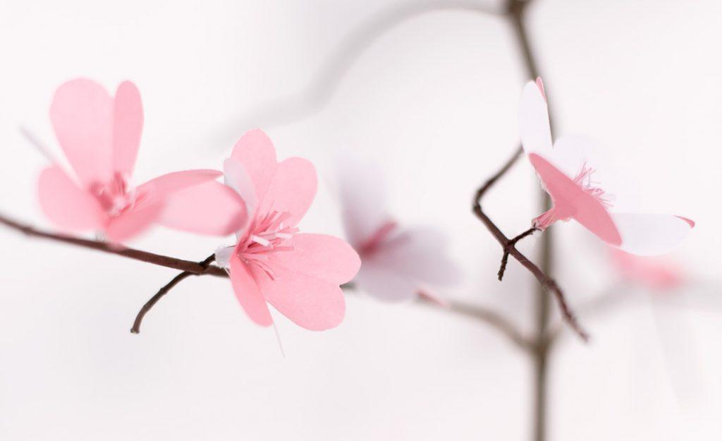 Kirschblueten Detail